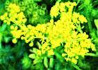 Echtes Labkraut(Galium verum(L.))