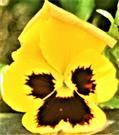 Gartenstiefmütterchen(Viola x wittrockiana(Pansy))