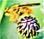 Gelbe Dungfliege(Scathophaga stercorarius(L. 1758)) rastend