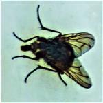 Gemeine Stubenfliege(Musca domestica(L. 1758))