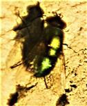 Goldfliege(Lucilia sericata(Meigen 1826))