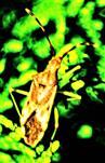Braune Randwanze(Gonocerus acuteangulatus(Goezze 1778))
