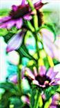 Purpur-Sonnenhut(Echinacea purpurea(L.)Moench)