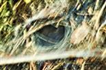 Netz einer Trichterspinne(Agelenidae)