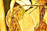 Schoten einer Mondviole, eines Einjährigen Silberblattes(Lunaria  annua(L.))