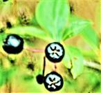 Schwarze Apfelbeere(Aronia melanocarpa(Michx.)Elliott)