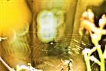 Radnetz einer Spinne an einem Eisentor