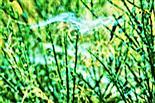 Spinnennetze einer Baldachinspinne(Linyphiidae)