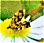 Spreizflügelfalter(Anthophila fabriciana(Stainton 1848)) beim Blütenbesuch