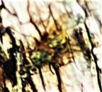 Stubenfliege(Musca domestica(L. 1758)) auf Holz