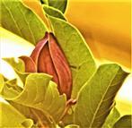 Purpur-Magnolienblüte(Magnolia liliiflora(Desr.))