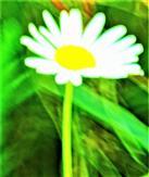 Magerwiesen-Margerite(Leucanthemum vulgare(Lam.))