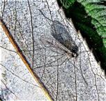 Wintermücke(Trichocera hiemalis(Meigen 1804))