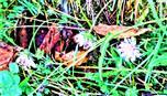 Blüten von Acker-Witwenblumen(Knautia arvensis(L.) Coult)