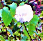 Blüte einer Echten Zaunwinde(Calystegia sepium(L.)R. Br.)