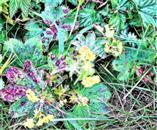(Gewöhnlicher oder Gemeiner) Frauenmantel(Alchemilla vulgaris(L.))