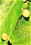 Unreife Gallen der Buchengallmücke(Mikiola fagi(Hartig 1839))