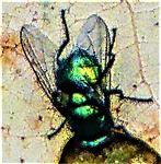 Goldfliege(Lucilia sericata(Meigen 1826)) sich noch wärmend