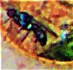 Muscidae(Hydrotaea diabolus(Harris 1780))