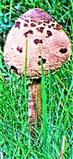 Gemeiner Riesenschirmling(Scop. ; Fr.)Singer)