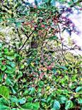 Gewöhnlicher Spindelstrauch,Europäisches Pfaffenhütchen(Euonymus europaeus(L.))