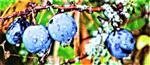 Fruchtender Schlehdorn bzw. Gemeine Schlehe(Prunus spinosa(L.))