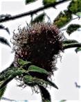 Schlafapfel, Pflanzengalle der Gemeinen Rosengallwespe(Diplolepis rosae(L. 1758))