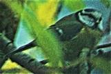 Blaumeise(Cyanistes caeruleus(L. 1758)) an einer Futterquelle