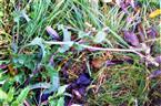 Raue Gänsedistel(Sonchus asper(L.)Hill)