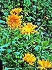 Ringelblume(Calendula officinalis(L.))