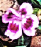 Blüte einer Bartnelke(Dianthus barbartus(L.))