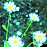 Einjähriges Berufkraut bzw. Feinstrahl(Erigeron annuus(L.)Desf.)