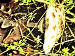 Gemeine Riesenschirmling bzw. Parasol (Macrolepiota procera(Scop. : Fr.) Singer)