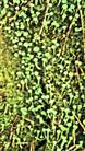 Trompetenflechte(Cladonia fimbriata(L.)Fr.)