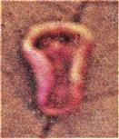 Pflanzengalle einer Gallwespe(Neuroterus albipes reflexus(Kieffer 1901))