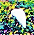Silberreiher(Ardea alba(L. 1758)) wieder als (Vogel-)Gast zugegen