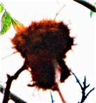 Schlafapfel bzw. Rosengalle der Gemeinen Rosengallwespe(Diplolepis rosae(L. 1758))