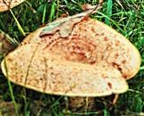 Edel-Reizker(Lactarius(Pers.) delicious)