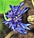 Blüte einer Kornblume(Cyanus segetum(Hill.))