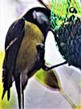 Kohlmeise(Parus major(L. 1758)) am Meisenknödel