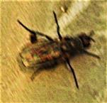 Fliege(Coenosia agromyzina(Fallen 1825))