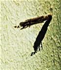 Sack eines Kleinen Rauch-Sackträger(Psyche casta(Pallas 1767))