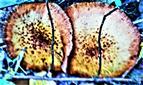 Zwei Dunkle Hallimasche(Armillaria ostoyae(Romagn.)Herink)