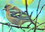 Männlicher Buchfink(Fringilla coelebs(L. 1758))