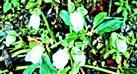 Knospen einer Schnee- oder Christrose(Helleborus niger(L.))