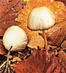 Junge Falten-Tintling(Coprinopsis atramentaria(Bull. Fr.)Fr.) im Falllaub