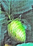 Garten- bzw. Kulturerdbeere(Fragaria x ananassa))