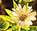 Herbst- oder Kissenaster(Aster dumosus)
