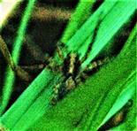 Weibliche Trauerwolfsspinne(Pardosa lugubris(Walckenaer 1802)) im Gras