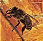 Westliche Honigbiene(Apis mellifera(L. 1758)) an Kürbis